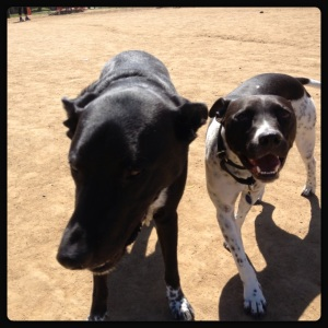 Almost 1/2 brothers at the dirty dog park.