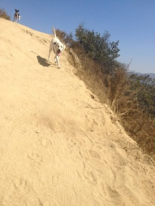 Snowbell runs down a hill at Runyon